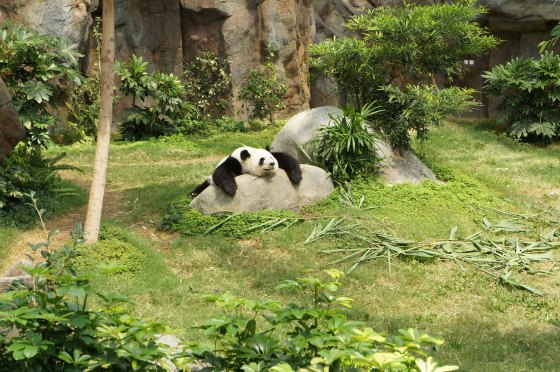 panda-lazy-animal-sleeping-relaxing